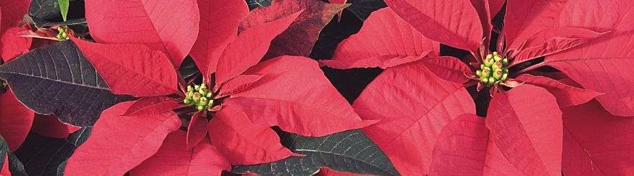 Poinsettias | Haven Fellowship Church, Conyers GA